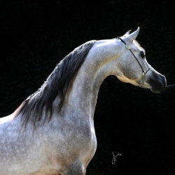 Day Dream Arabians