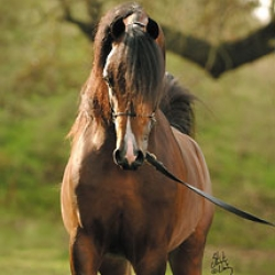 Arabians Evergreen