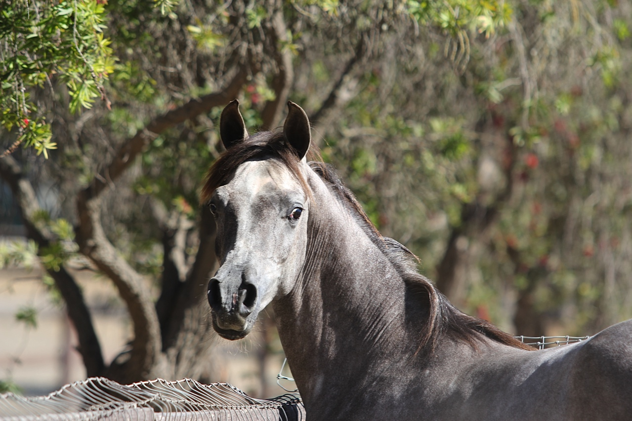 Horses Archive - Santa Ynez Valley Arabian Horse Association